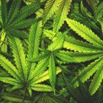 Cannabis auf Rezept gegen Parkinson? ddd