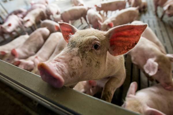Schwein mit Menschlicher Sex Im Schweinestall